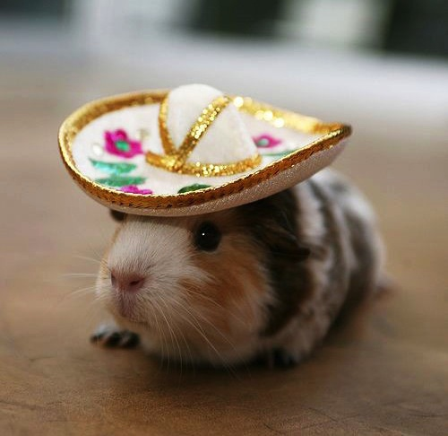 Party Guinea Pig in his famous party sombrero